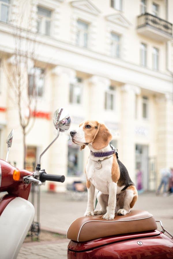 Cane del cane da lepre su un motorino su una via della città fotografia stock