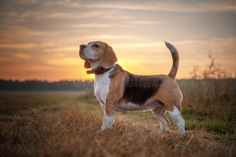 Cane del cane da lepre su una passeggiata di mattina all'alba fotografia stock libera da diritti