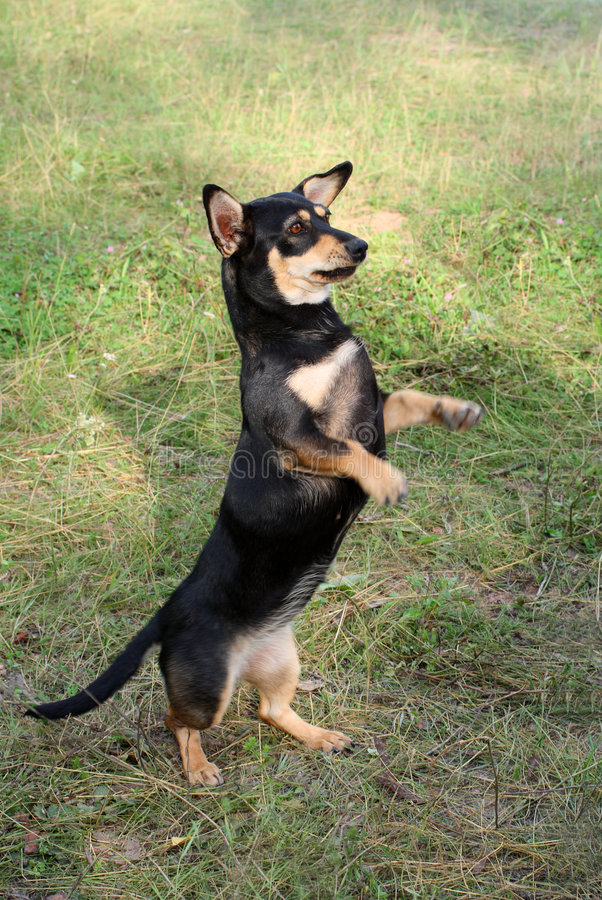 Cane del Dachshund immagini stock libere da diritti