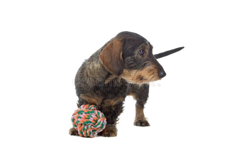 Cane del Dachshund con il giocattolo fotografia stock