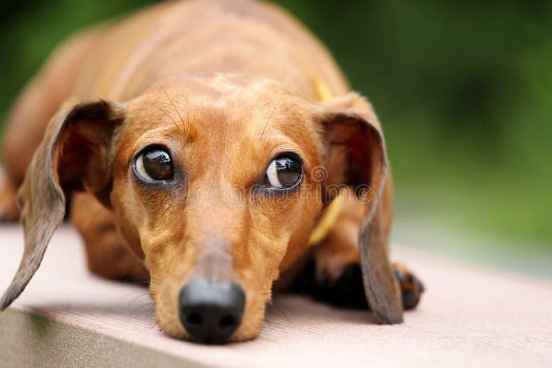 Cane del Dachshund in sosta fotografie stock