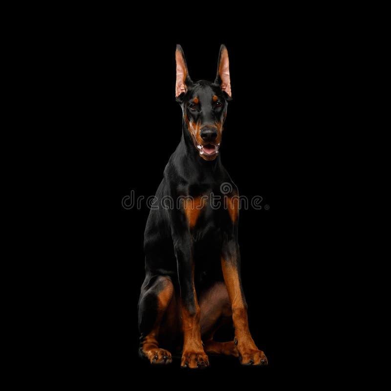 Cane del doberman con le orecchie catting su fondo nero isolato immagine stock