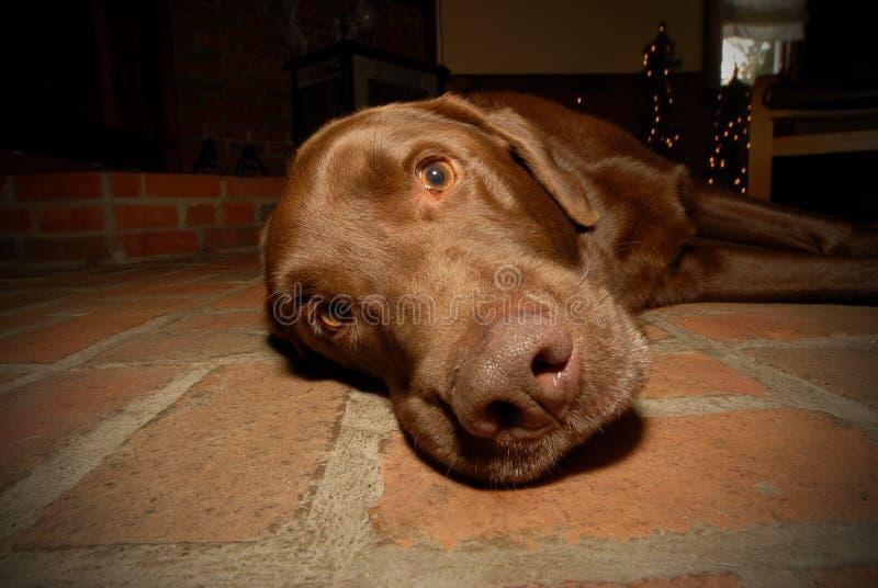 Cane del documentalista di labrador del cioccolato fotografia stock libera da diritti