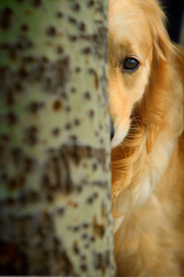Cane del documentalista dorato immagini stock libere da diritti