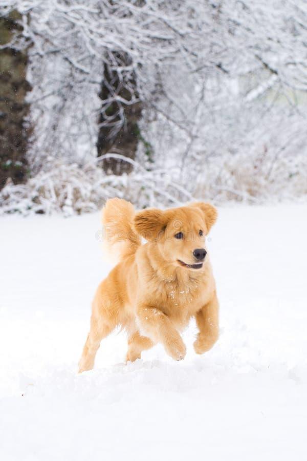 Cane del documentalista dorato che gioca nella neve immagine stock libera da diritti
