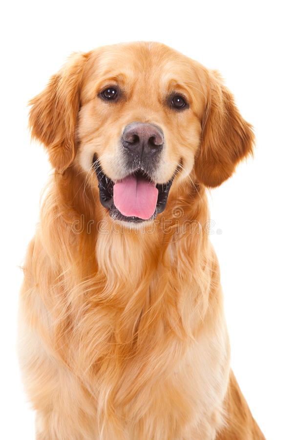 Cane del documentalista dorato che si siede sul bianco isolato immagini stock libere da diritti