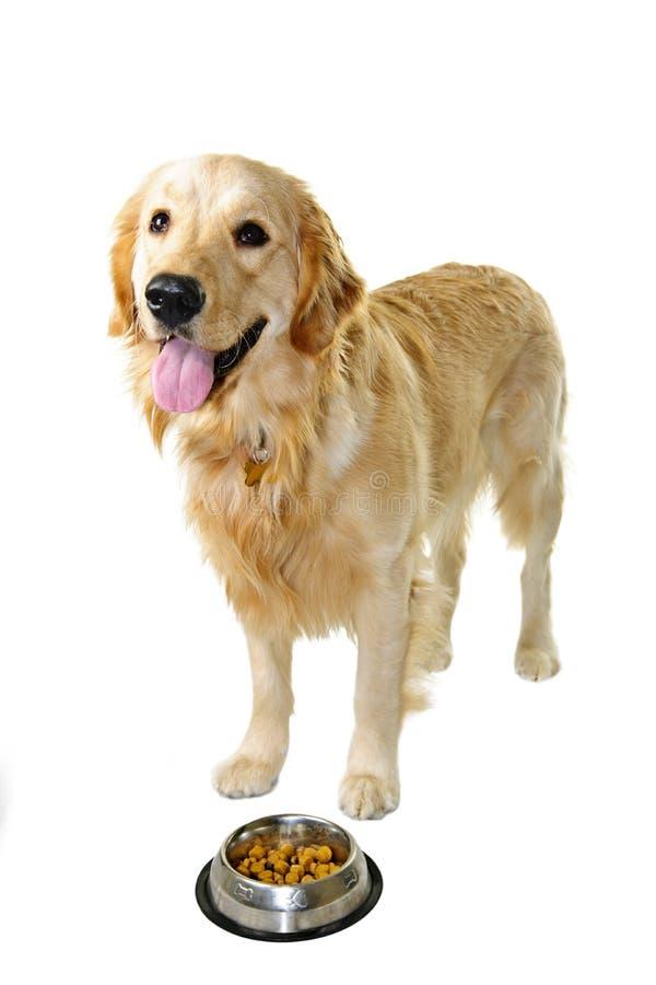 Cane del documentalista dorato con il piatto dell'alimento fotografia stock