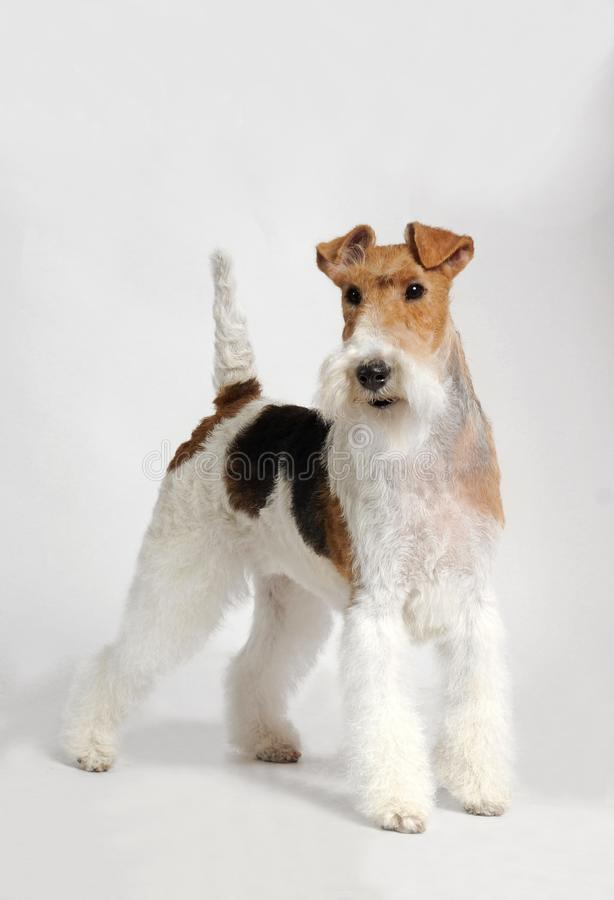 Cane del fox terrier fotografie stock