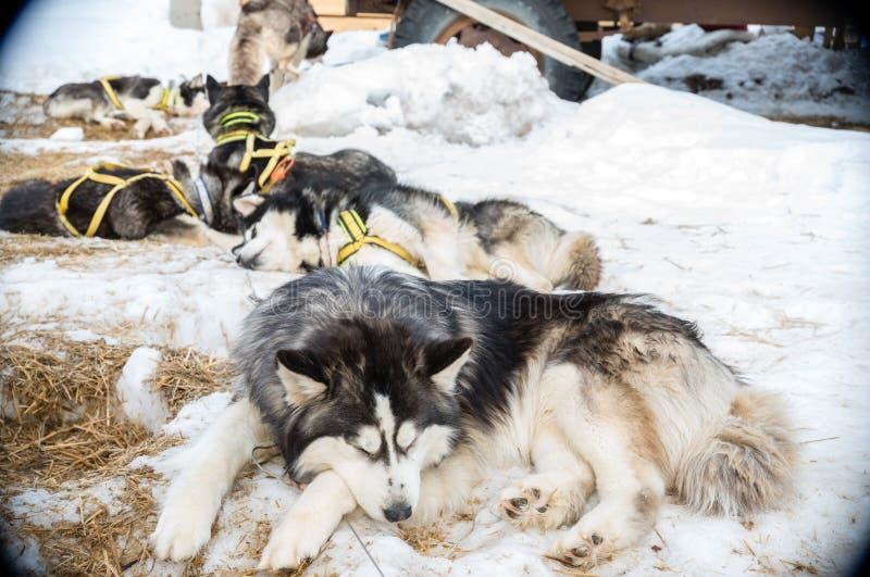 Cane del husky immagini stock libere da diritti