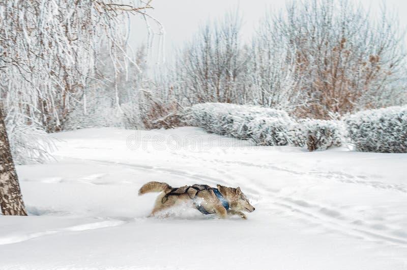 Cane del husky che passa neve profonda fotografia stock libera da diritti