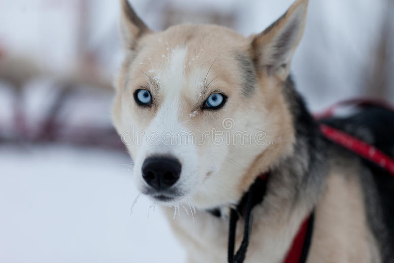 Cane del husky con gli occhi azzurri immagine stock immagine di eschimesi inverno 24762625 - Husky con occhi diversi ...