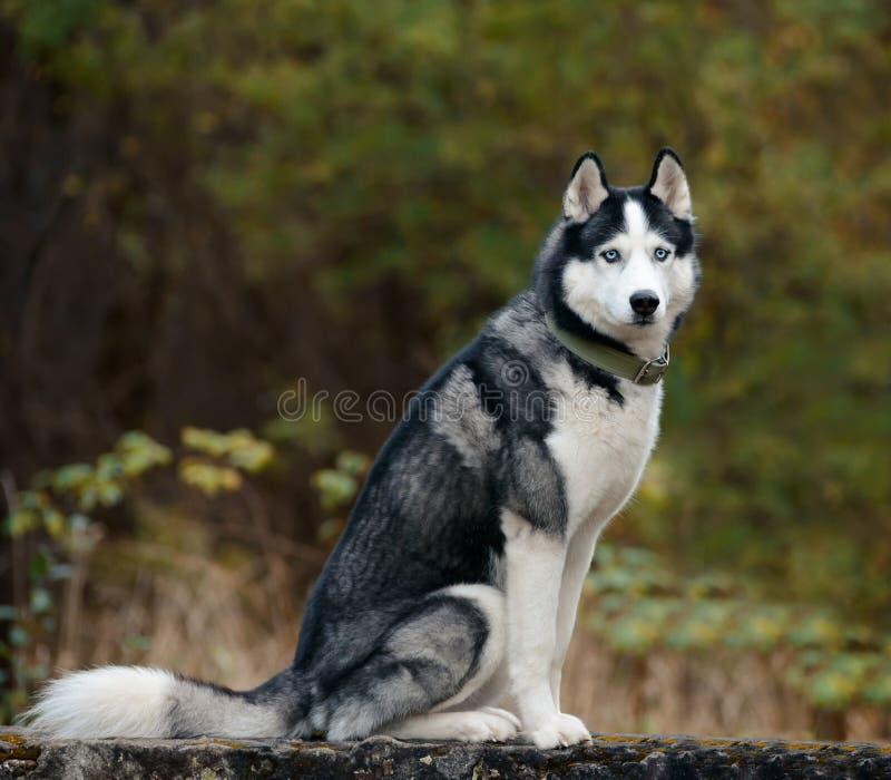 Cane del husky siberiano fotografie stock libere da diritti
