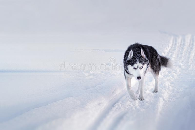 Cane del husky siberiano con i funzionamenti degli occhi azzurri lungo la strada di inverno coperta di neve fotografia stock