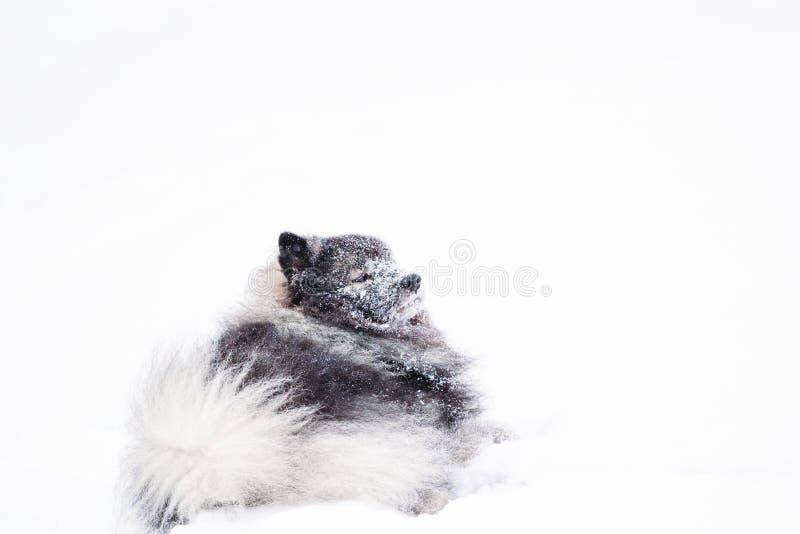 Cane del Keeshond che riposa nella neve fotografia stock libera da diritti