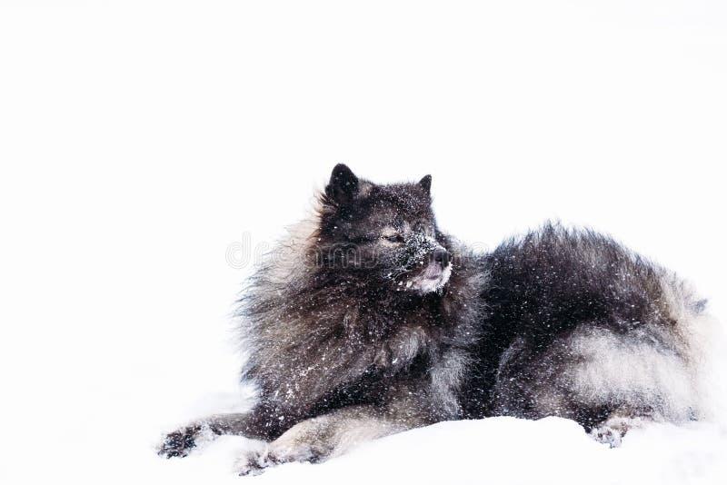 Cane del Keeshond che si trova nella neve nell'inverno fotografia stock libera da diritti