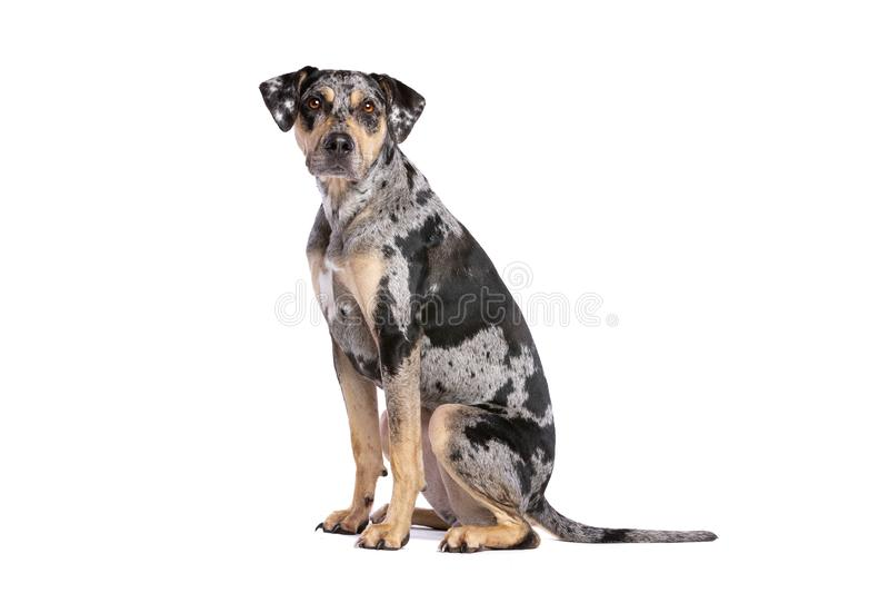 Cane del leopardo della Luisiana Catahoula immagini stock