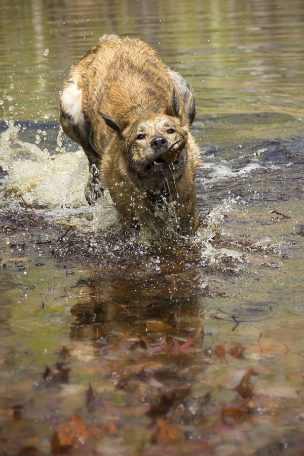Cane del leopardo di Catahoula che recupera un bastone da uno stagno primaverile immagini stock libere da diritti