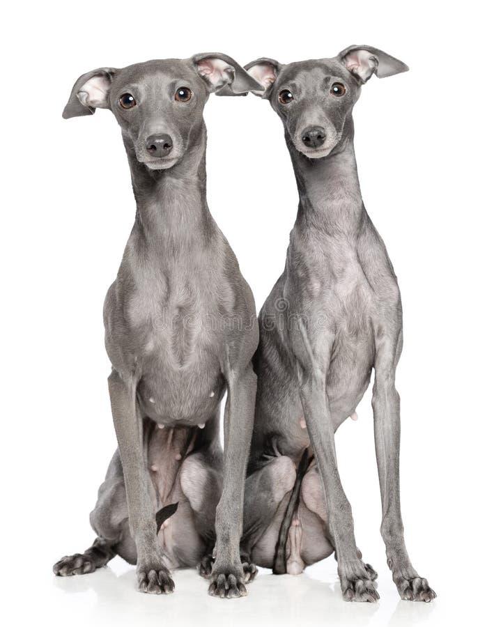 Cane del levriero italiano isolato su fondo bianco fotografia stock libera da diritti