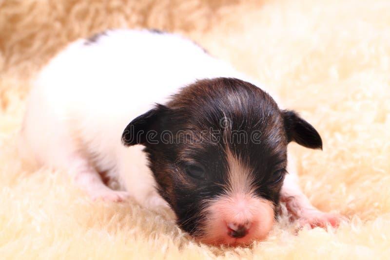cane del papillon neonato fotografia stock