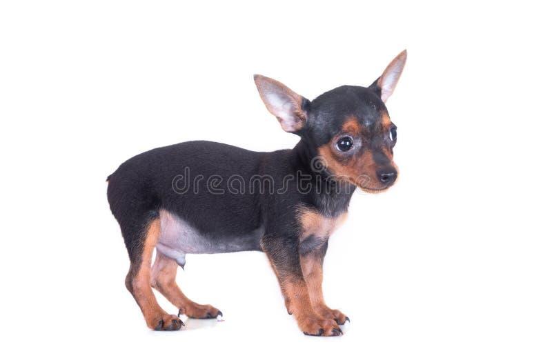 Cane del pinscher miniatura che sorride e cercare su fondo bianco immagini stock