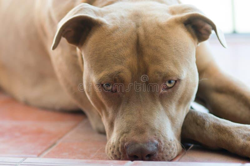 Cane del pitbull terrier immagini stock libere da diritti