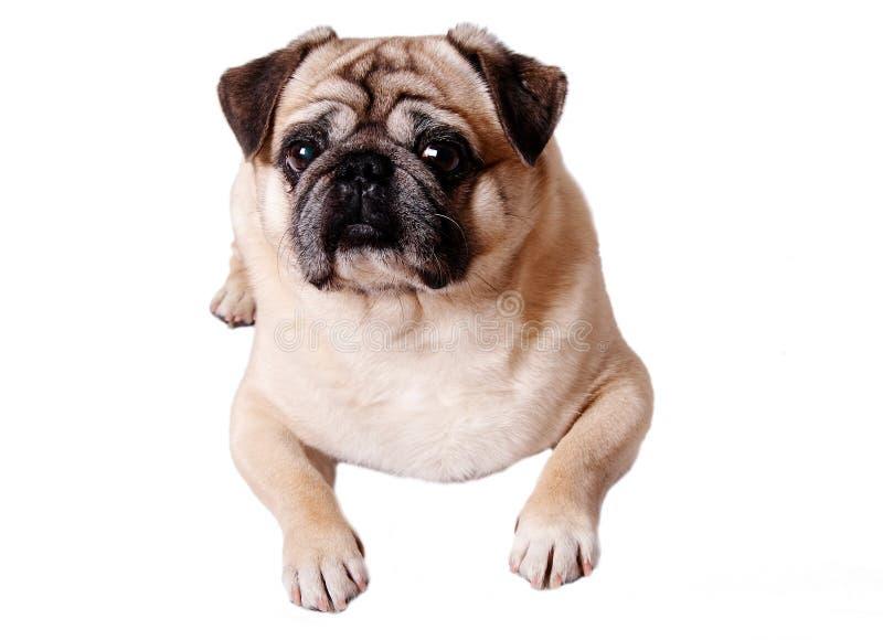 cane del pug fotografia stock
