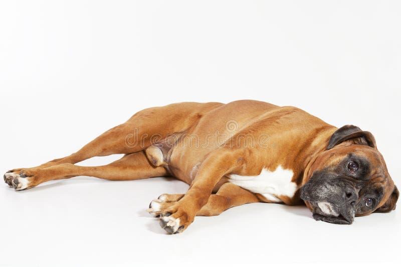 Cane del pugile arrestato fuori fotografia stock libera da diritti