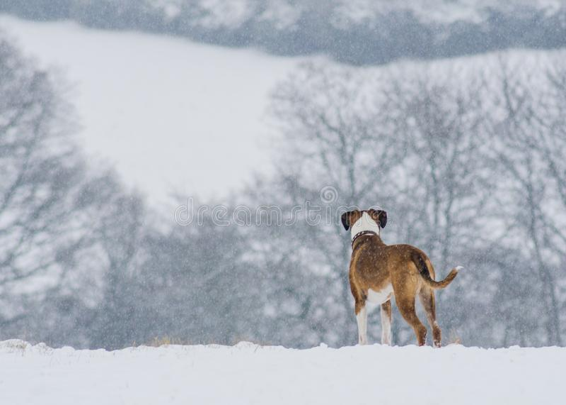 Cane del pugile che esamina fuori il paesaggio nevoso fotografia stock