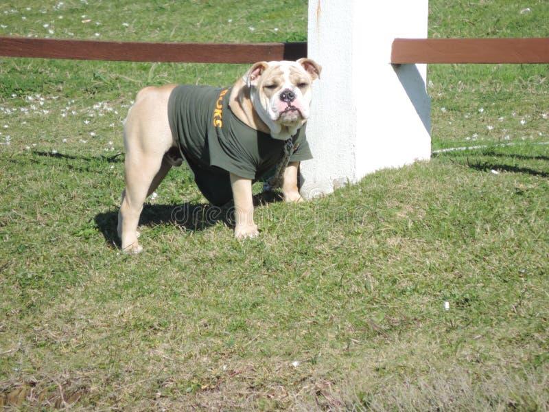 Cane del pugile con la maglietta su paesaggio fotografie stock libere da diritti
