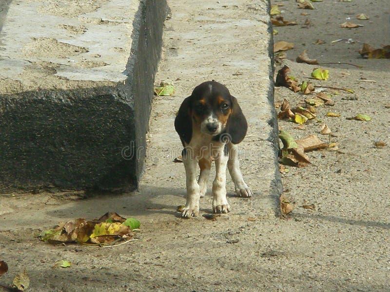 Cane del purosangue nella caduta sui punti fotografia stock