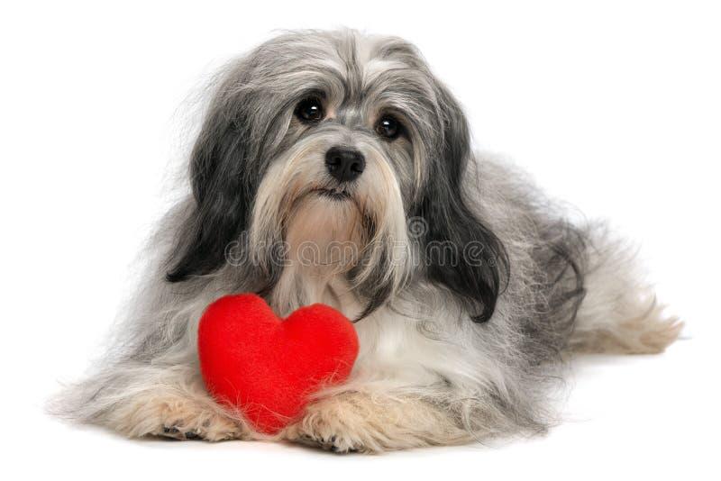 Cane del ragazzo di Havanese del biglietto di S. Valentino dell'amante fotografia stock libera da diritti