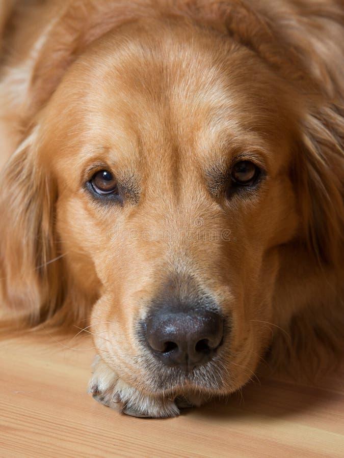 Cane del ritratto immagine stock libera da diritti