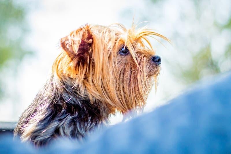Cane del ritratto dell'Yorkshire terrier della razza nella fine di profilo su _ fotografie stock libere da diritti