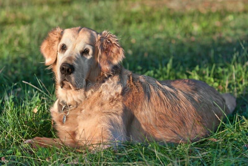 Cane del ritratto - documentalista dorato fotografia stock