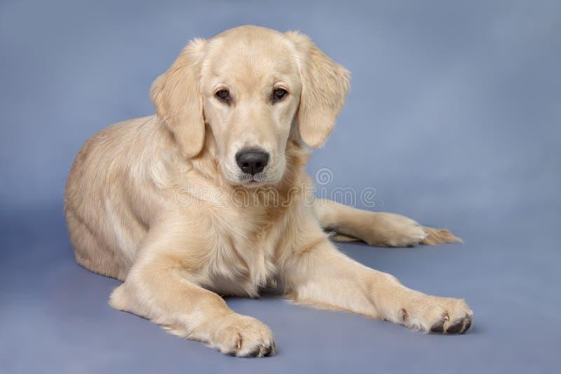 Cane del ritratto - documentalista dorato fotografie stock