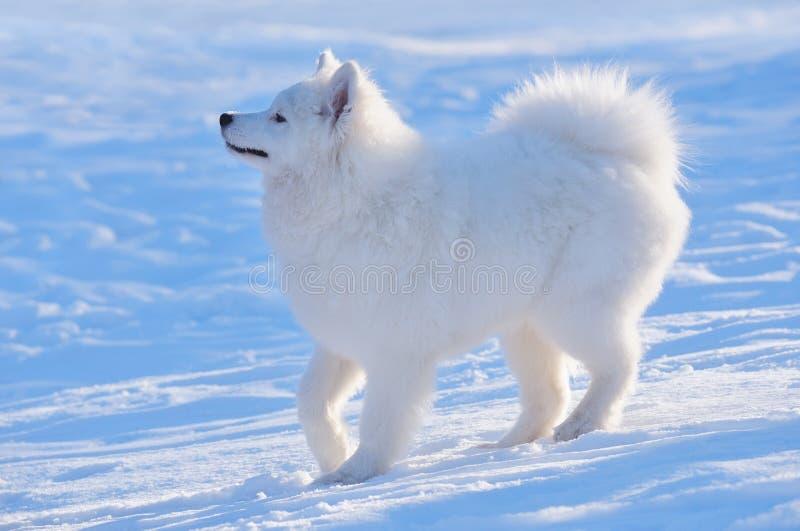 Cane del Samoyed - cucciolo fotografia stock