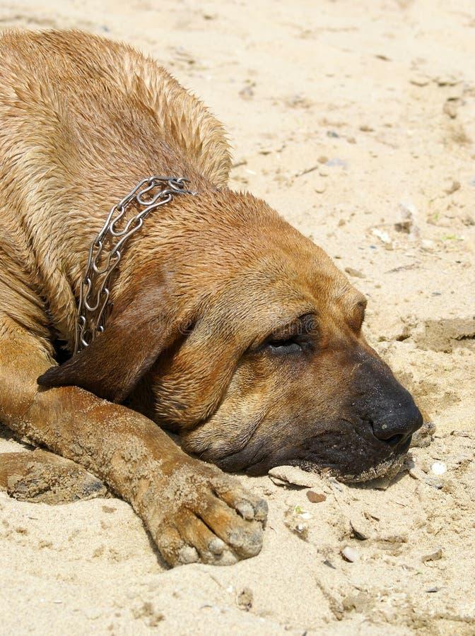 Cane del segugio fotografie stock libere da diritti