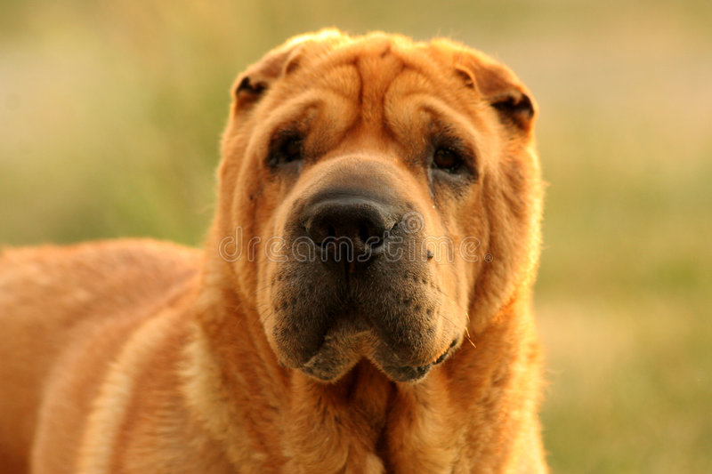 Download Cane del Tan Sharpei immagine stock. Immagine di muso, cute - 201737