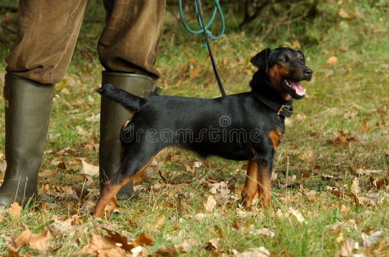 Cane del Terrier immagine stock