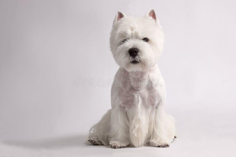 Cane del terrier bianco di altopiano ad ovest immagini stock