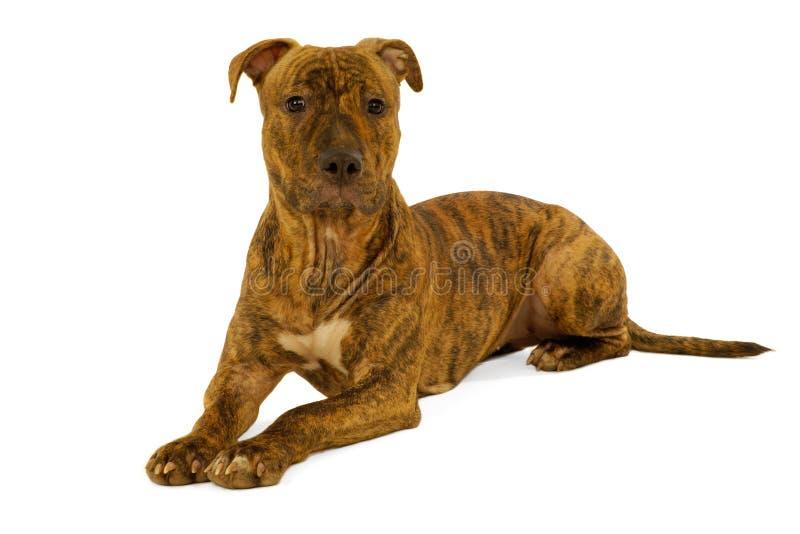 Cane del terrier dello Staffordshire immagine stock libera da diritti