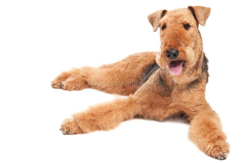 Cane del Terrier di Airedale isolato fotografia stock libera da diritti