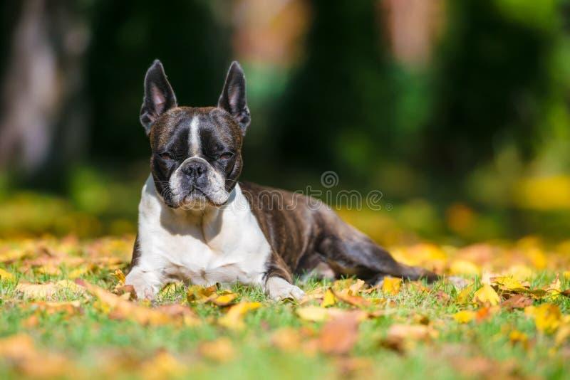 Cane del terrier di Boston su un prato inglese verde nel paesaggio di autunno fra colore fotografie stock