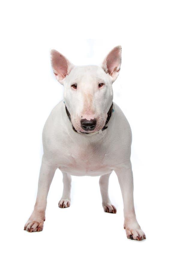 Cane del terrier di Bull immagini stock libere da diritti