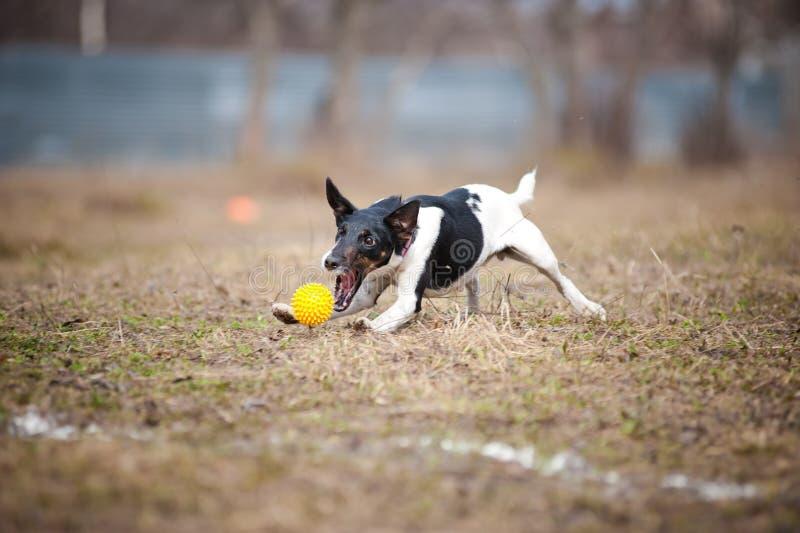 Cane del terrier di Fox che gioca con una sfera del giocattolo immagini stock libere da diritti