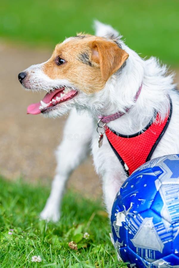 Cane del terrier di Jack russell in parco che cerca pronto a giocare con il proprietario fotografie stock libere da diritti