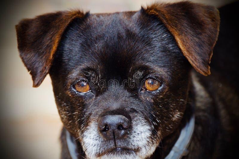 Cane del vecchio amico fotografia stock