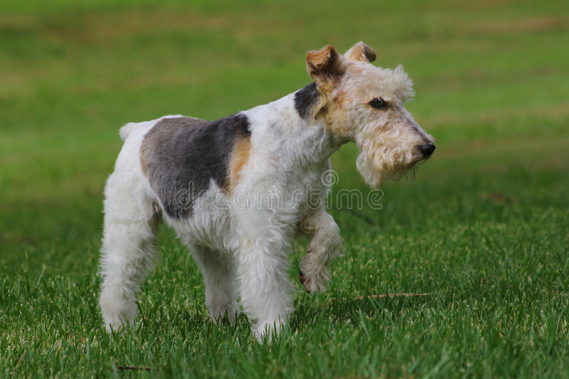 Cane del Welsh terrier immagine stock