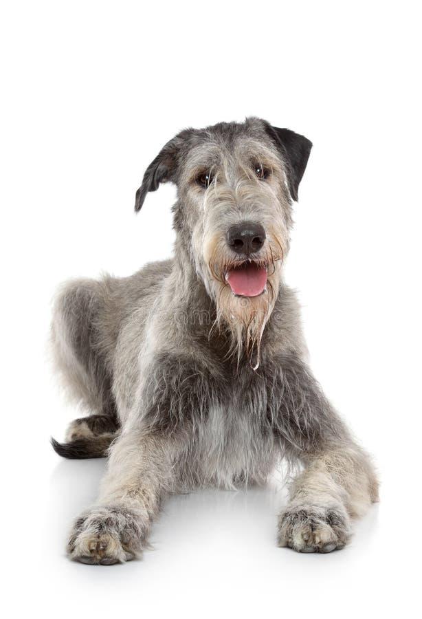 Cane del Wolfhound irlandese su priorità bassa bianca immagine stock libera da diritti