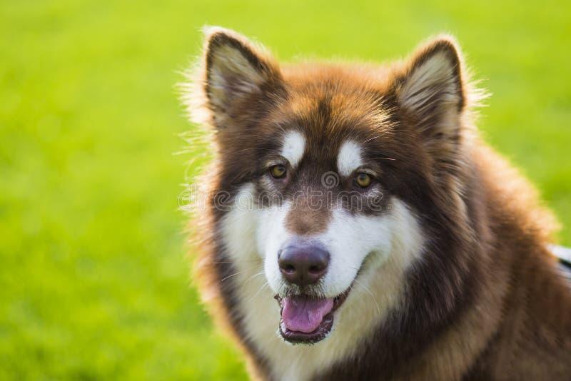 Cane dell'Alaska del gigante immagini stock